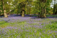 Flavours of Kent & Bluebells at Ightham Mote